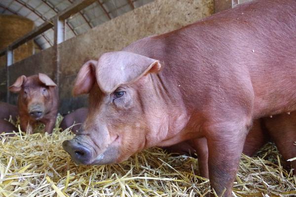 さくら豚とは?